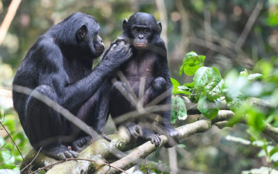 Bonobo 'helicopter' moms stand guard while their sons mate – Science Magazine