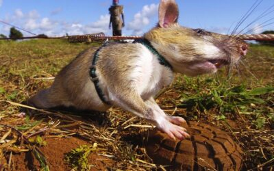 Giant Rats Sniffing Out Landmines and Tuberculosis…