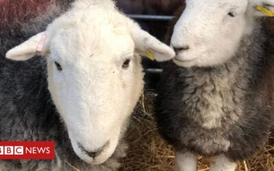 Live animal exports to be banned in England and Wales