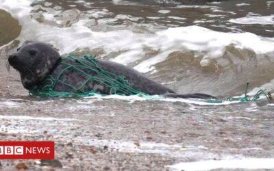 Felixstowe seal released from fishing net