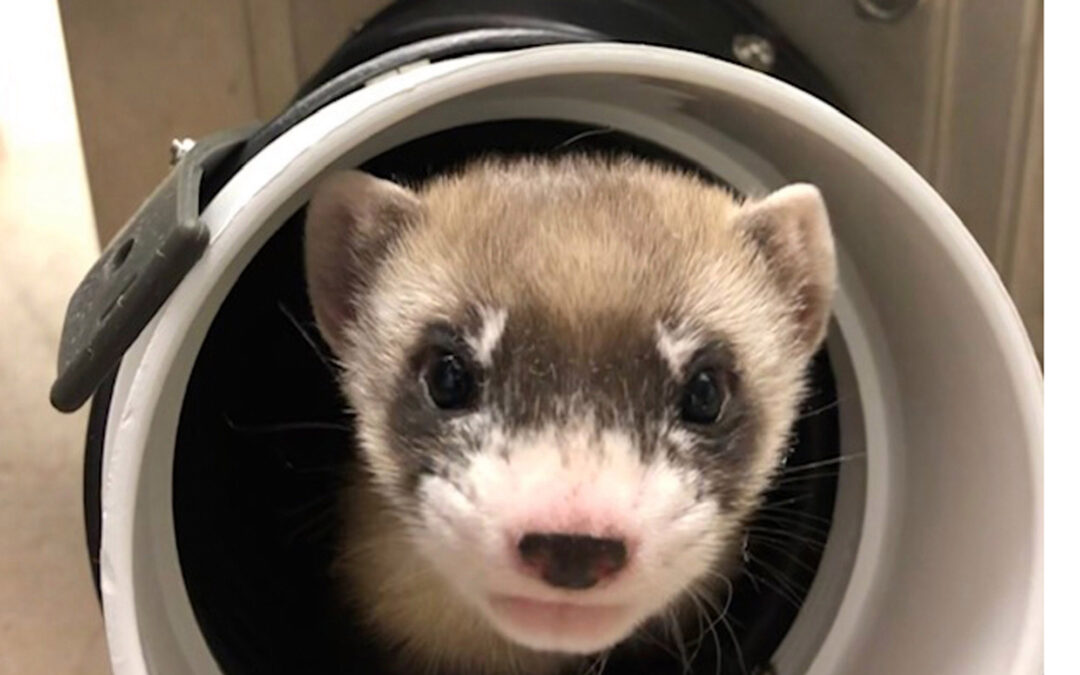 First clone of US endangered species, a ferret, announced