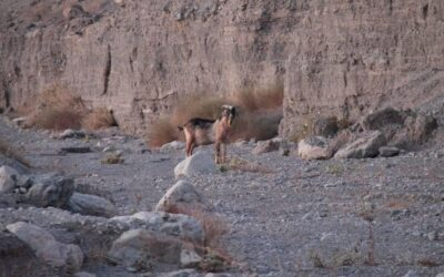 Mysterious goat appears in Death Valley. That's bad news, rangers say…