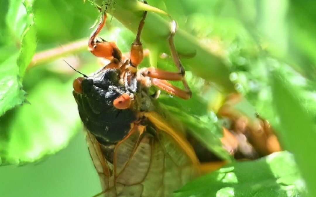 Wednesday Noon Dispatch: Cicada Plague Swarms White House Journalists