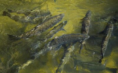 Drought-hit California scales up plan to truck salmon to ocean…